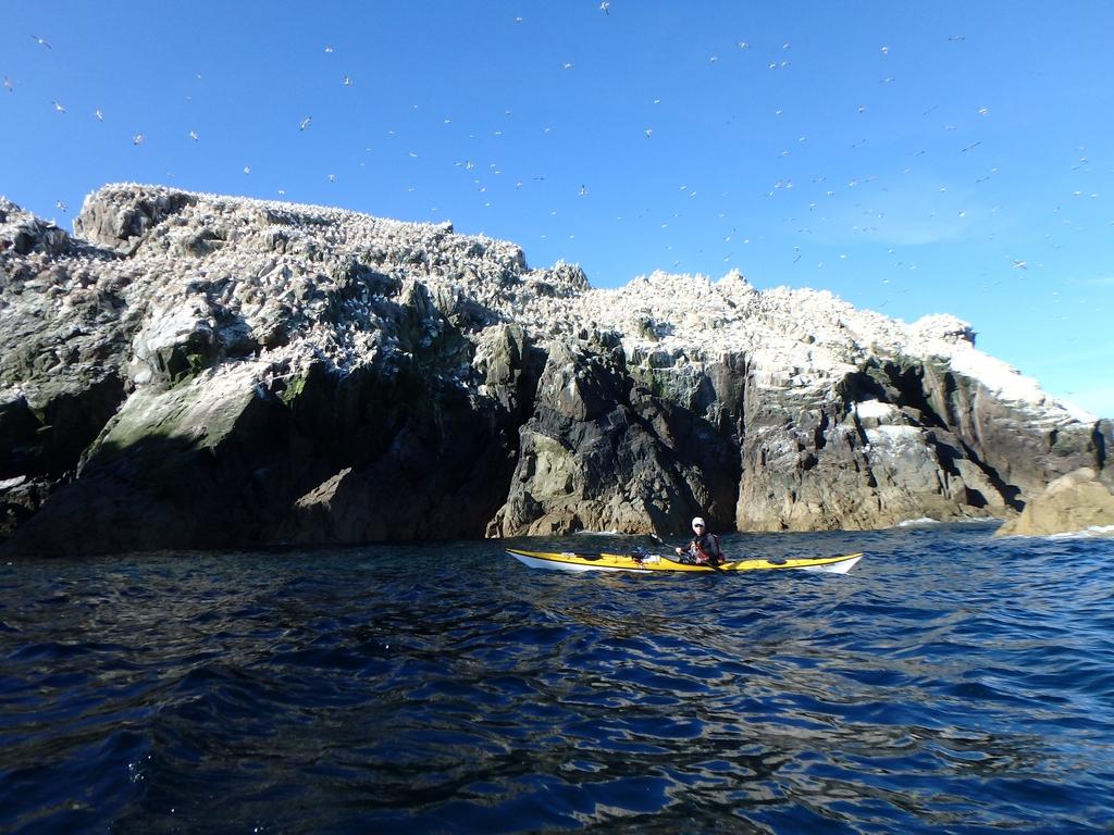 Alderney : colonie de fous de bassan sur l'îlot les Etacs