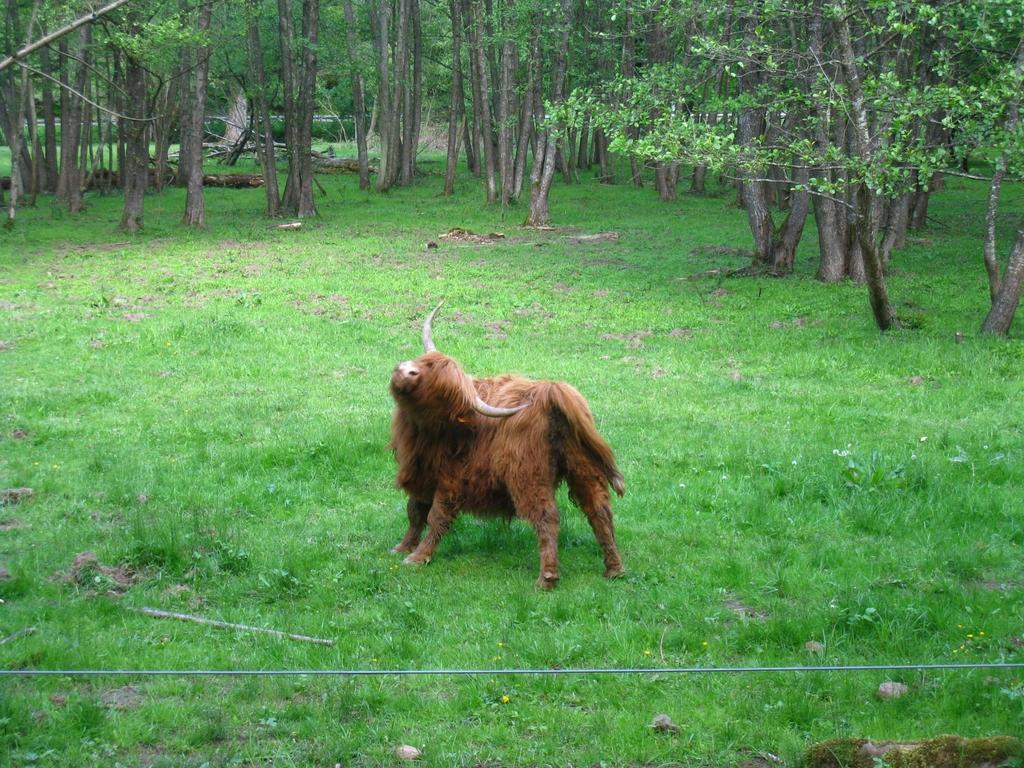 Les zones humides sont communes ce qui permet de croiser des vaches écossaises qui s'en accommodent bien !