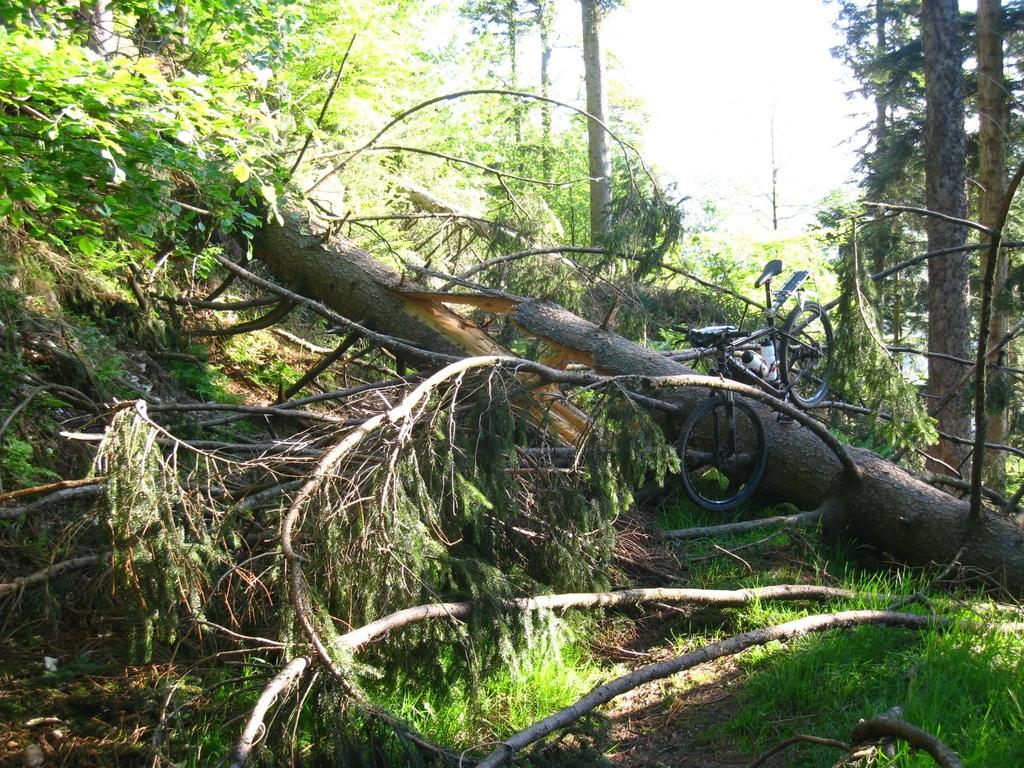 Les chutes d'arbres sont fréquentes dans le massif