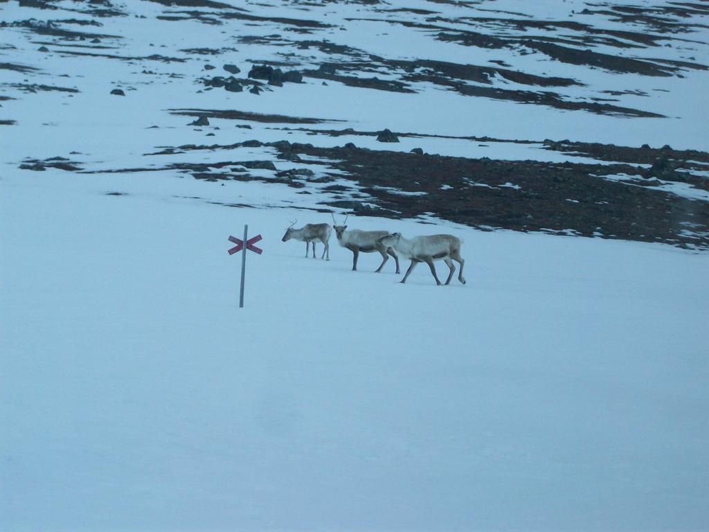 Au réveil, nous ne sommes pas seuls. Les rennes errent alentour, à la recherche de nourriture.